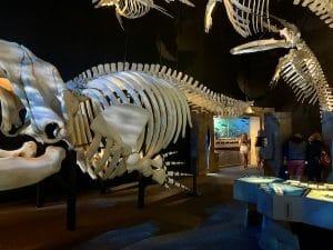 Squelettes de mammifères marins vu par LM Le Québec